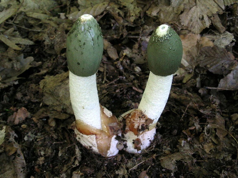 Mushroom veselka: medicinal properties