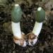 蘑菇veselka:药用属性
