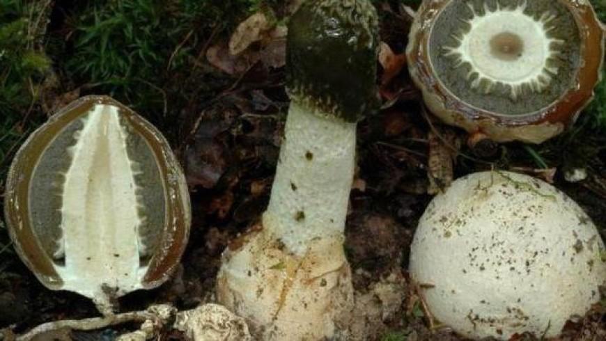 Zpětná vazba na ošetření houby Veselka