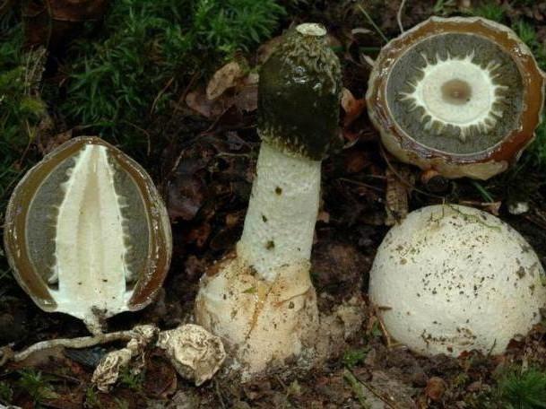 对蘑菇Veselka的治疗反馈
