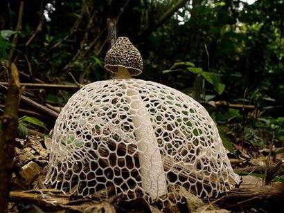 Veselka - unikátní houba